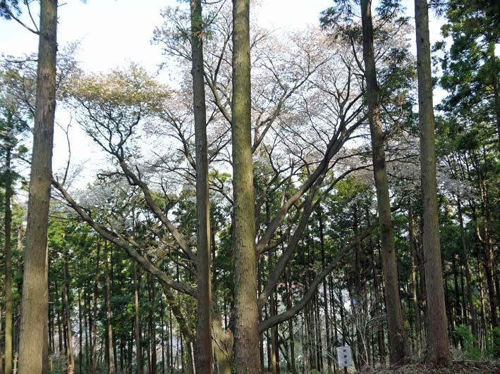 満開のオオシマザクラが4・5「北鎌倉ウォッチング」出迎えへ_c0014967_2255660.jpg
