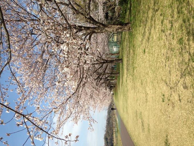 桜満開_b0219170_12551674.jpg