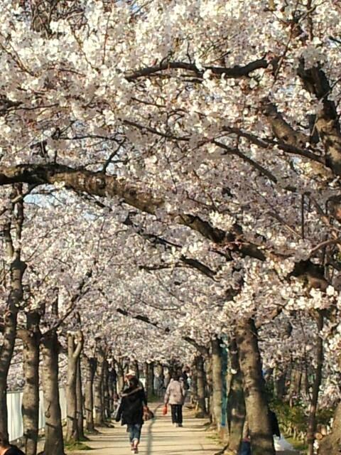今年のお花見・妙法寺川_a0098174_0273286.jpg