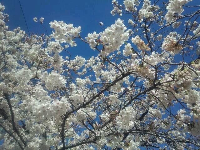 お花見日和_d0079577_1543764.jpg