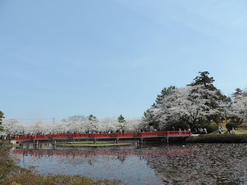 桜満開!_c0187781_10142072.jpg