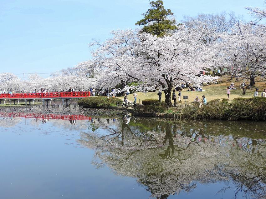 桜満開!_c0187781_10151648.jpg