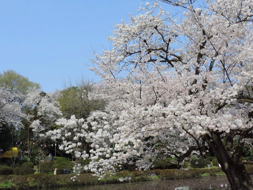 桜満開!_c0187781_10162328.jpg