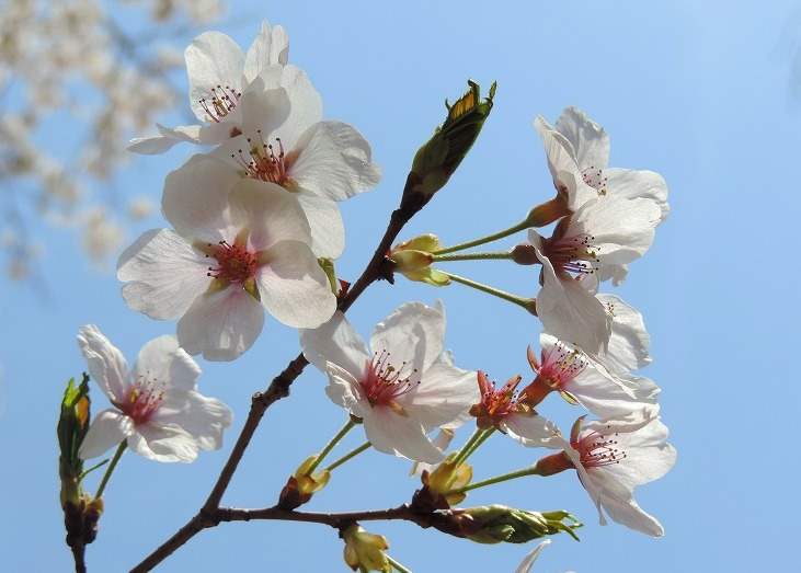桜満開!_c0187781_10165638.jpg