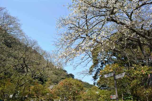 伊豆大島 あんこさん、桜に椿にウサギも!春に出会う日帰り島旅へ_b0053082_12242616.jpg