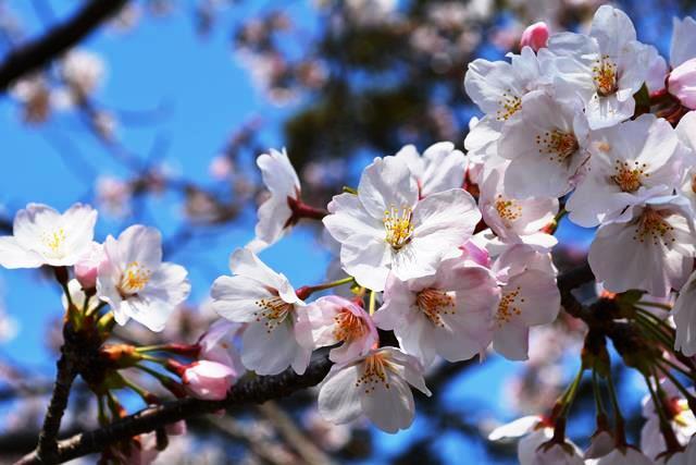伊豆大島 あんこさん、桜に椿にウサギも!春に出会う日帰り島旅へ_b0053082_12315915.jpg