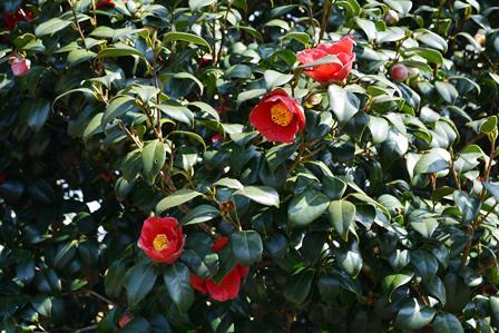 伊豆大島 あんこさん、桜に椿にウサギも!春に出会う日帰り島旅へ_b0053082_1233149.jpg