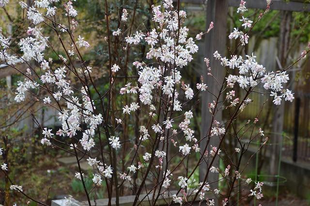 ジュンベリーの花 など_c0124100_11482877.jpg