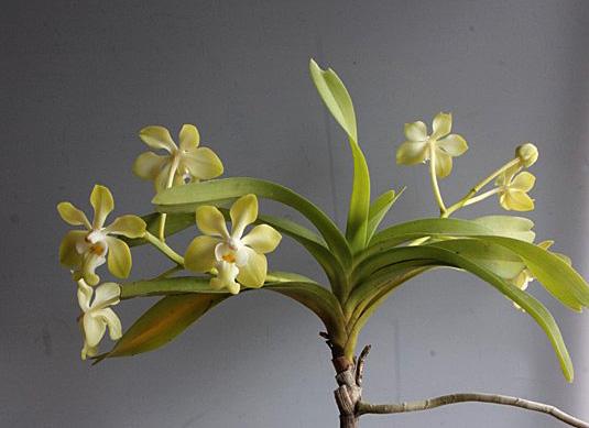 バニラの香り:V.denisoniana _d0007501_7255852.jpg