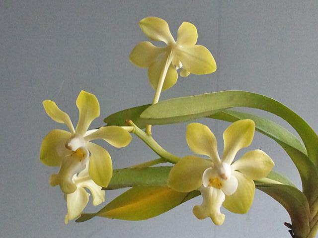 バニラの香り:V.denisoniana _d0007501_727268.jpg