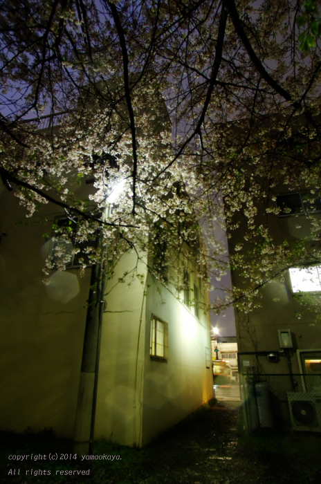 桜雨の中で_d0309612_21453827.jpg