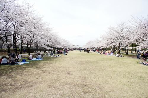 桜満開でした_d0004728_07582102.jpg
