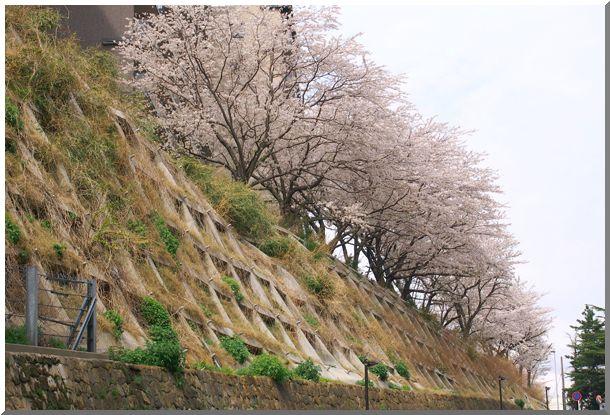 地元のさくら(横浜)_d0123528_1352495.jpg