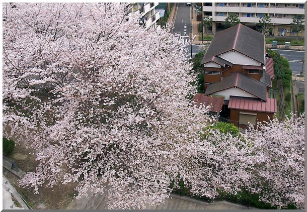 地元のさくら(横浜)_d0123528_1354444.jpg