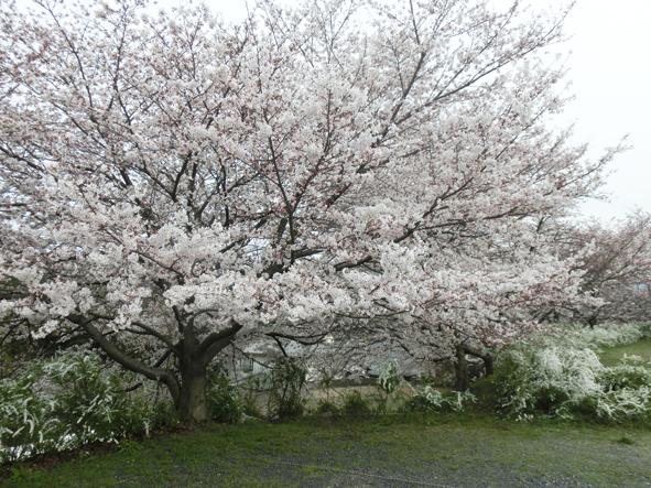 春色_f0045132_1835382.jpg