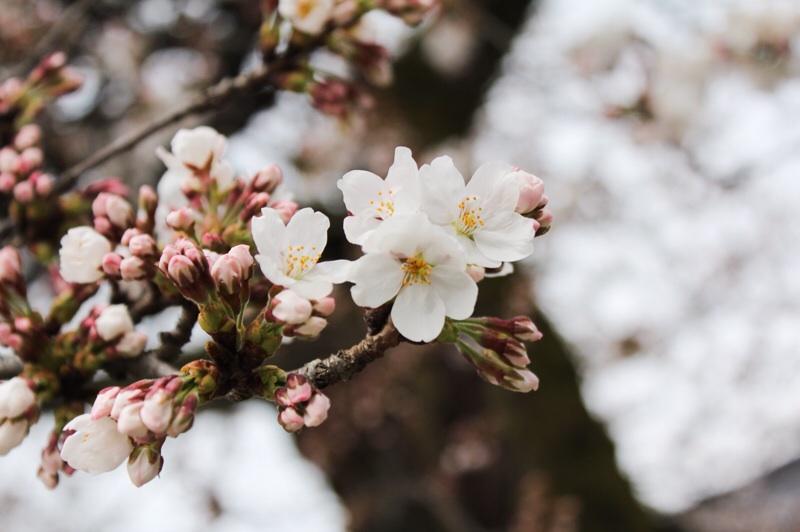 桜さんぽ_b0132338_13205987.jpg