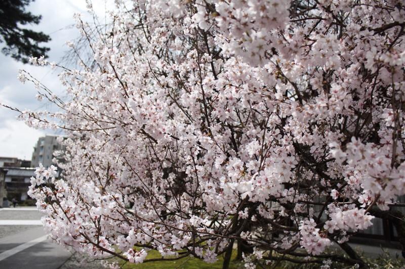 桜さんぽ_b0132338_13210846.jpg