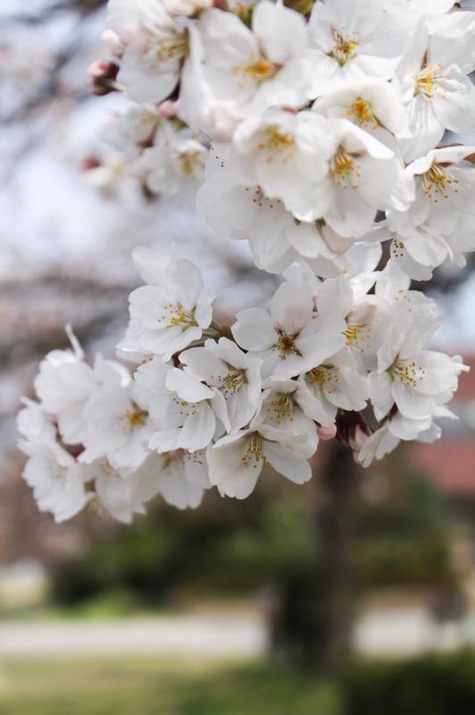 桜さんぽ_b0132338_13213097.jpg