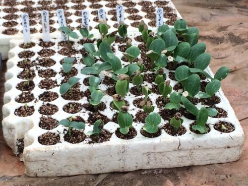 苗床播種してから 7日 まずはズッキーニの発芽です・・。_c0222448_18552676.jpg
