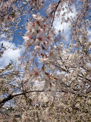 絶景の花見_c0185356_11194522.jpg