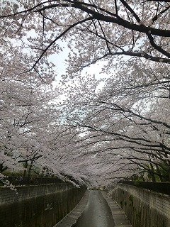 sakura その4  お花見ランチと花吹雪と♪_a0165160_07495154.jpg
