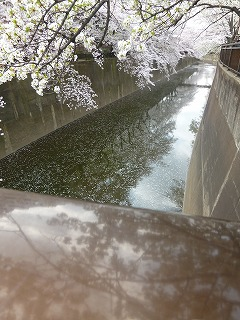 sakura その4  お花見ランチと花吹雪と♪_a0165160_07512105.jpg