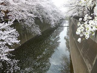 sakura その4  お花見ランチと花吹雪と♪_a0165160_07525638.jpg