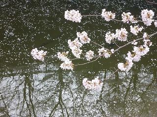 sakura その4  お花見ランチと花吹雪と♪_a0165160_07545809.jpg