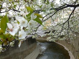 sakura その4  お花見ランチと花吹雪と♪_a0165160_08042417.jpg
