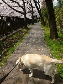 sakura その4  お花見ランチと花吹雪と♪_a0165160_08043719.jpg