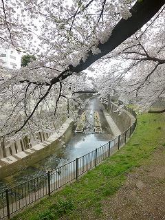 sakura その4  お花見ランチと花吹雪と♪_a0165160_08111882.jpg
