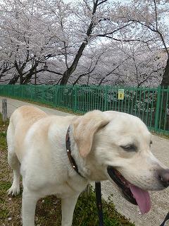 sakura その4  お花見ランチと花吹雪と♪_a0165160_08240974.jpg