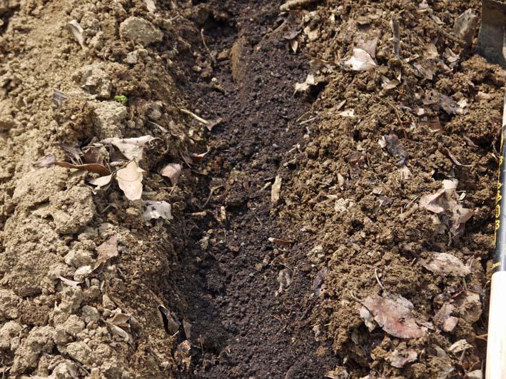 雪の影響か?里芋の生存1割&トウモロコシ種まき4・1~2_c0014967_10535127.jpg
