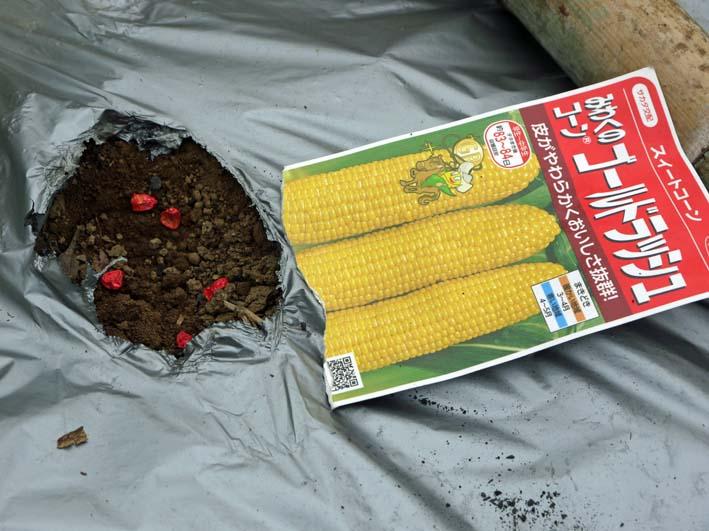 雪の影響か?里芋の生存1割&トウモロコシ種まき4・1~2_c0014967_10574098.jpg