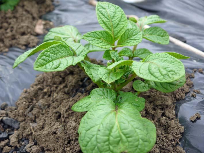 雪の影響か?里芋の生存1割&トウモロコシ種まき4・1~2_c0014967_10575637.jpg