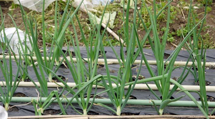 雪の影響か?里芋の生存1割&トウモロコシ種まき4・1~2_c0014967_10581547.jpg