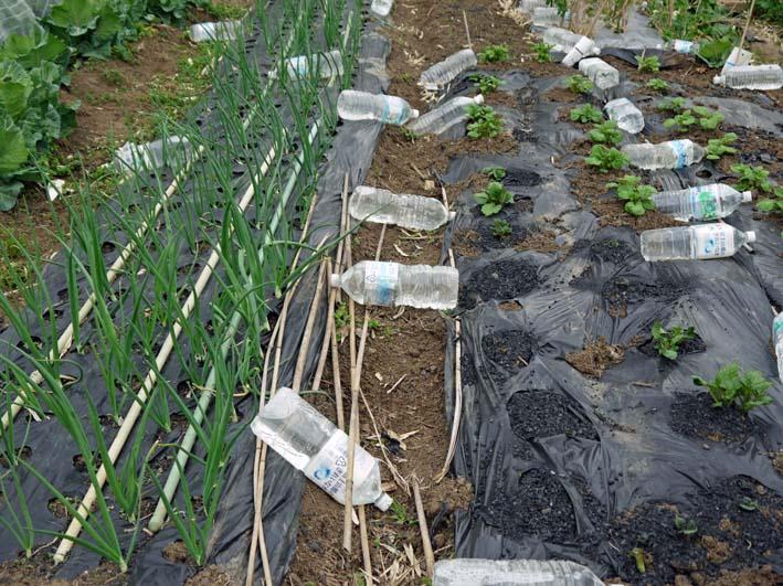雪の影響か?里芋の生存1割&トウモロコシ種まき4・1~2_c0014967_10583532.jpg