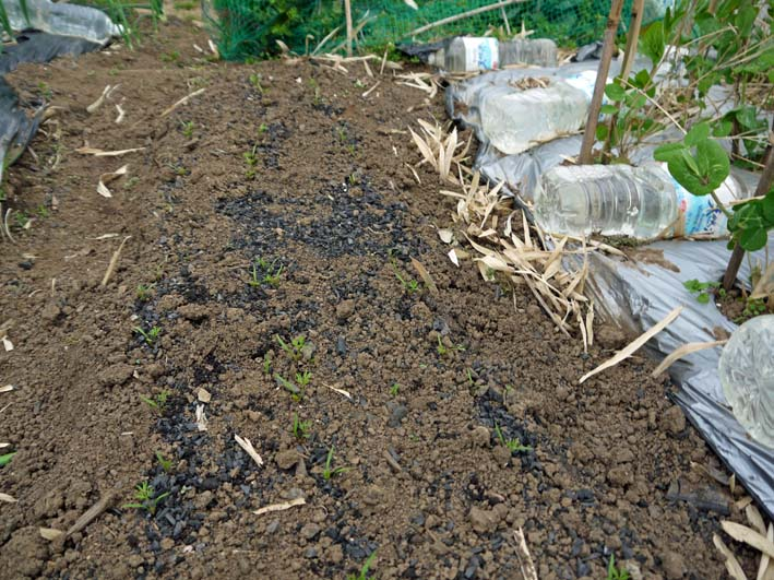 雪の影響か?里芋の生存1割&トウモロコシ種まき4・1~2_c0014967_10593672.jpg