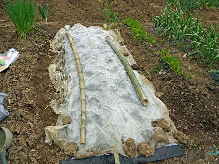 雪の影響か?里芋の生存1割&トウモロコシ種まき4・1~2_c0014967_1121547.jpg