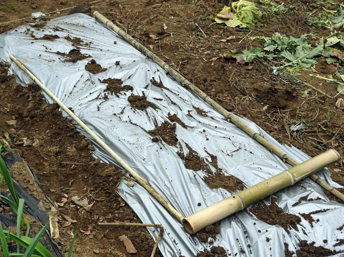 雪の影響か?里芋の生存1割&トウモロコシ種まき4・1~2_c0014967_1124449.jpg