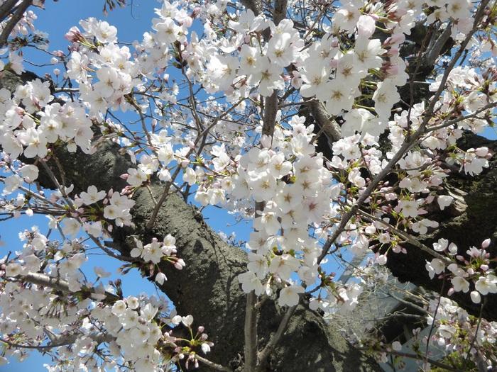 今年の桜祭りはピッタリ!!_f0205367_21113179.jpg