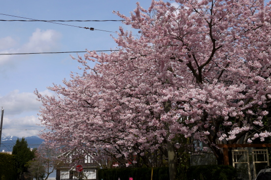 桜の下の英語の俳句_d0129786_1350454.jpg