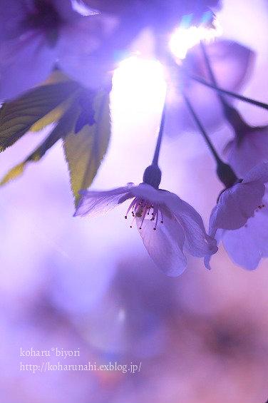 桜・4_f0299486_0332883.jpg