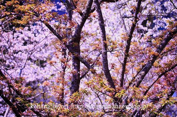 桜・4_f0299486_0334577.jpg