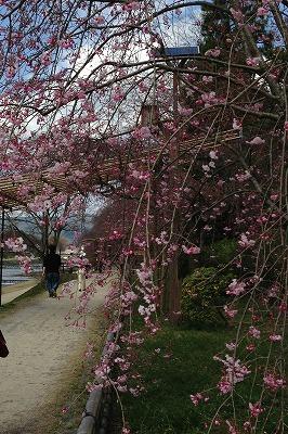 お花見散歩_a0273699_8584173.jpg