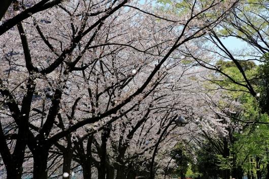 風に舞う桜_b0083801_16164610.jpg