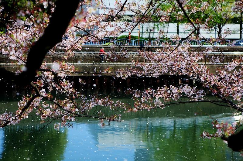 風に舞う桜_b0083801_16172900.jpg