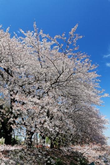 風に舞う桜_b0083801_16222480.jpg