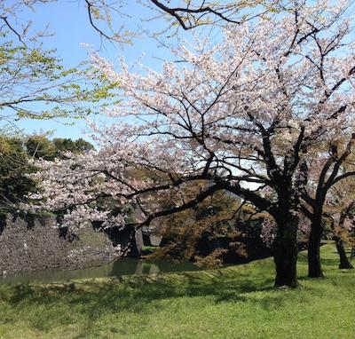 桜.さくら.サクラ in 皇居_d0154102_20375911.jpg