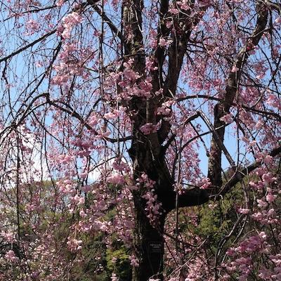 桜.さくら.サクラ in 皇居_d0154102_20442959.jpg